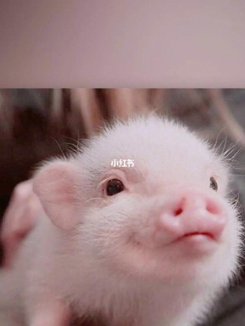 猪动态图片搞笑
